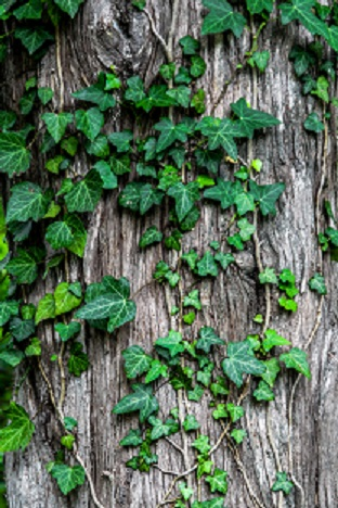 Ivy, possibly poison Ivy. Itchy