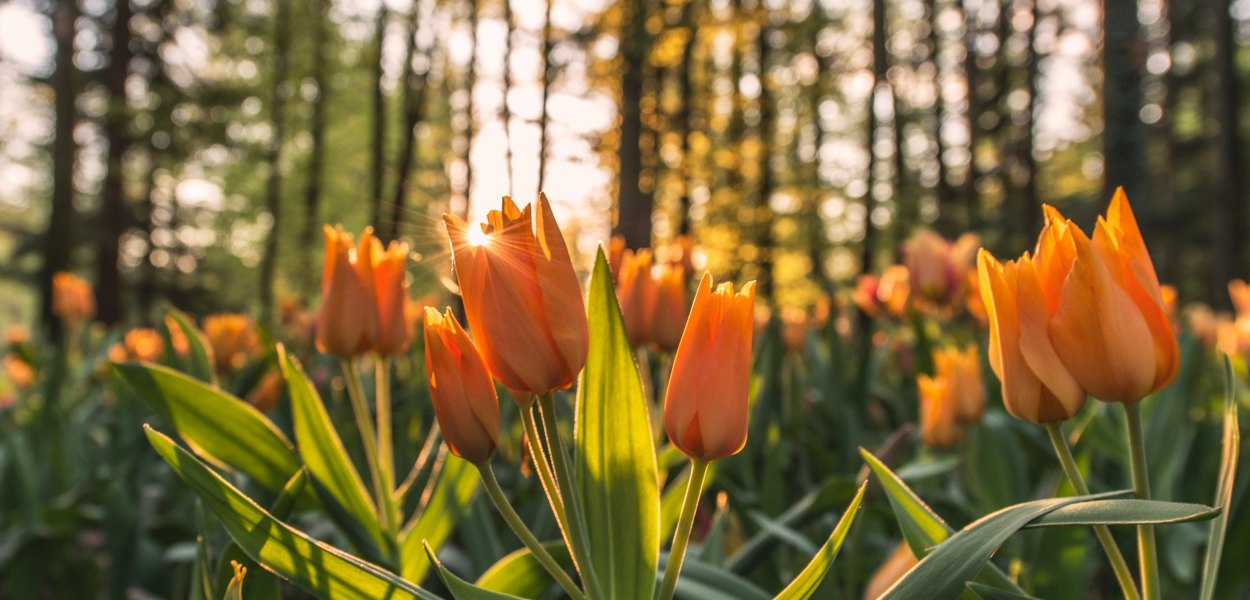 orange tulips in forest