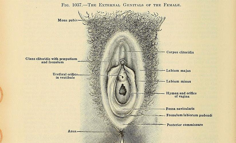 External genitals of female visual